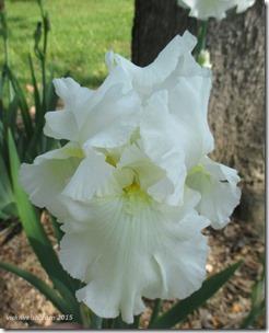 May 12 white iris
