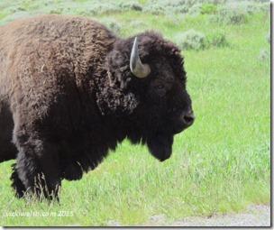 June 7 17 bison