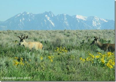 June 8 1 mule deer