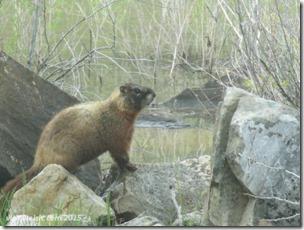 June 6 8 marmot
