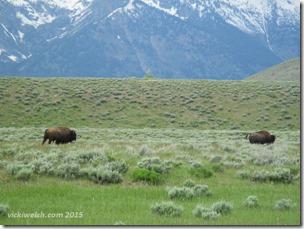 June 6 14 bison