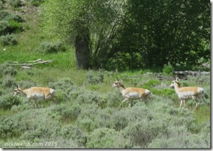 June 7 16 antelope