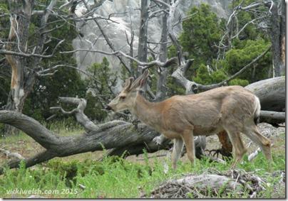 June 9 8 mule deer